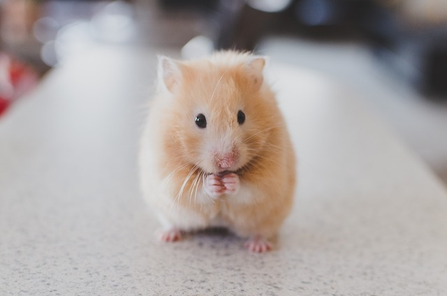 indices hamster malade