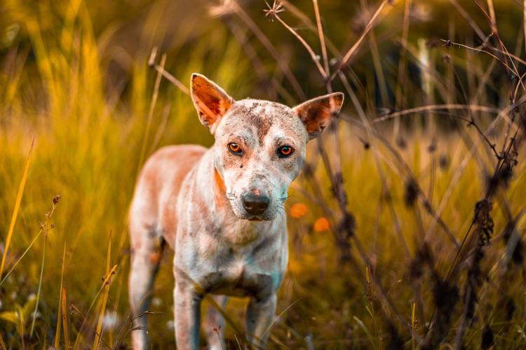 Leishmaniose chien
