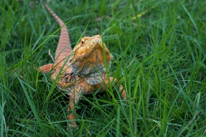 dragon barbu Pogona vitticeps