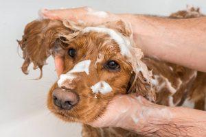 quelle fréquence laver chien